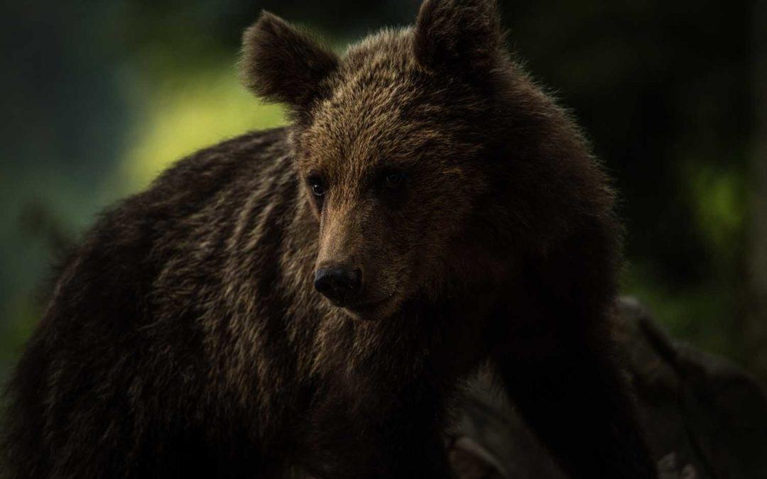 Bären beobachten