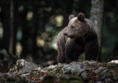 Austria, Österreich, Workshops, Fotoreisen, Fotokurse, Photography, Philipp Jakesch Photography, Fotografie lernen, besserebilder, Fotowissen, bären, bears, slowenien, europasbraunbären, braunbären