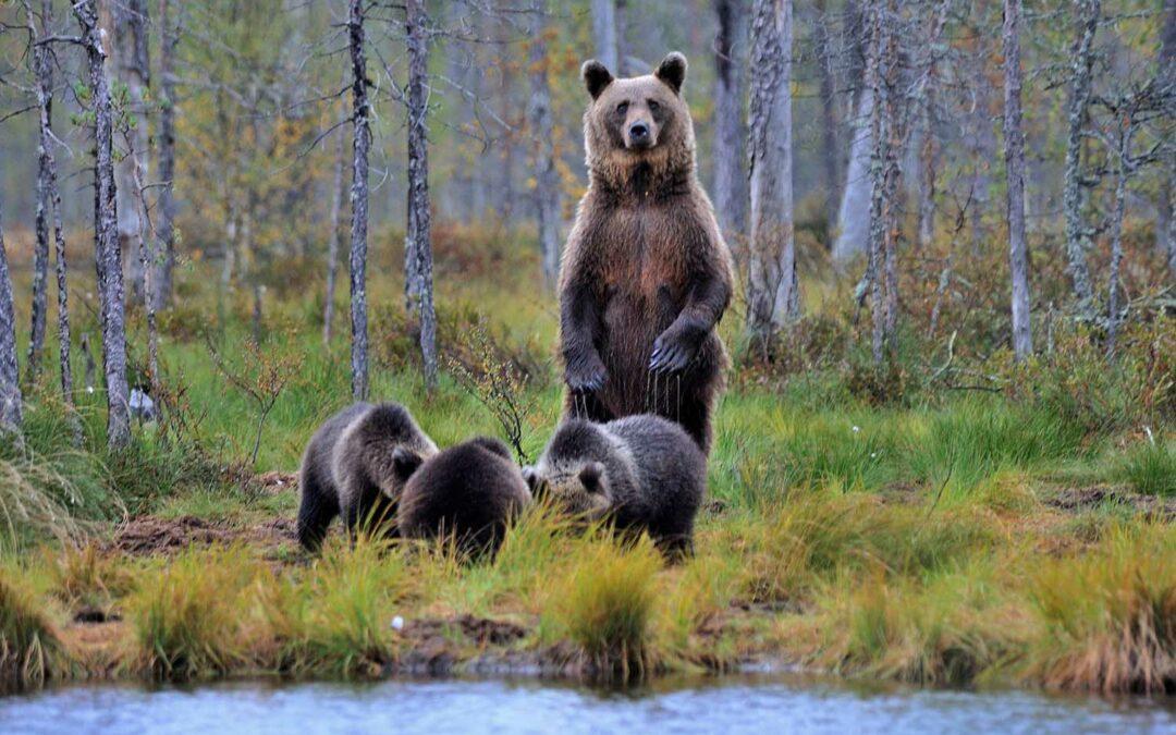 Finnlands Bären