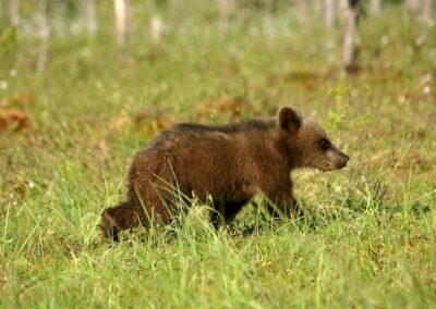 finnland, wildlife, wildtiere, wöfle, bären, mitternachtsonne, midnight sun, finland, finnish lappland, north, norden, europa, braunbär, wolf, vielfraß, adler